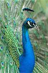 Peacock    Stock Photo - Premium Rights-Managed, Artist: Raimund Linke, Code: 700-02686021
