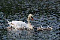 Mute Swan Mother and Cygnets    Stock Photo - Premium Rights-Managednull, Code: 700-02686027
