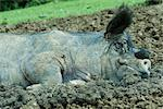 Pig lying in mud Stock Photo - Premium Royalty-Free, Artist: ableimages, Code: 632-02690277