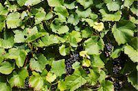 Grapevine, full frame Stock Photo - Premium Royalty-Freenull, Code: 632-02690346