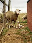Sheep in Pen    Stock Photo - Premium Rights-Managed, Artist: Yvonne Duivenvoorden, Code: 700-02700284