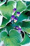 Violas and Hosta Leaves, Shampers Bluff, New Brunswick, Canada    Stock Photo - Premium Rights-Managed, Artist: Freeman Patterson, Code: 700-02700386