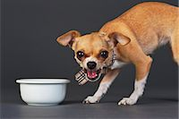 Portrait of Chihuahua with Dog Bowl    Stock Photo - Premium Rights-Managednull, Code: 700-02702551
