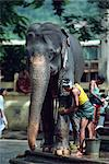 Man washing working elephant, Kandy, Sri Lanka, Asia    Stock Photo - Premium Rights-Managed, Artist: Robert Harding Images, Code: 841-02703956