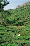 Women picking tea in a tea plantation, Munnar, Western Ghats, Kerala state, India, Asia    Stock Photo - Premium Rights-Managed, Artist: Robert Harding Images, Code: 841-02705812
