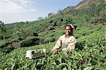 Portrait of a woman picking tea in a tea plantation, Munnar, Western Ghats, Kerala state, India, Asia    Stock Photo - Premium Rights-Managed, Artist: Robert Harding Images, Code: 841-02705814