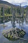 Beaver lodge in dammed pond, Ogilvie Mountains, Yukon, Canada, North America    Stock Photo - Premium Rights-Managed, Artist: Robert Harding Images, Code: 841-02706805