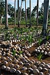 Sprouting coconuts and coconut palms on a plantation at Baracoa, Oriente, Cuba, West Indies, Central America