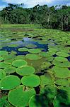 Parque Ecologico do Janauary, Victoria Amazonica (Giant Water-Lily), Manaus, Amazonas, Brazil, South America    Stock Photo - Premium Rights-Managed, Artist: Robert Harding Images, Code: 841-02707255