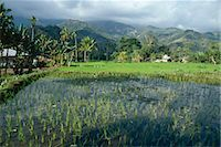 flores - Rice paddy fields, Moni, island of Flores, Indonesia, Asia    Stock Photo - Premium Rights-Managednull, Code: 841-02707394