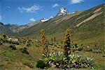 Mount Kenya, with giant lobelia in foreground, Kenya, East Africa, Africa    Stock Photo - Premium Rights-Managed, Artist: Robert Harding Images, Code: 841-02707906