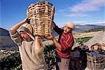 Grape pickers lifting baskets, Quinta do Bomfim, Douro, Portugal, Europe    Stock Photo - Premium Rights-Managed, Artist: Robert Harding Images, Code: 841-02709585