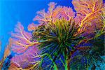 Featherstars perch on the edge of Gorgonian Sea Fans to feed in the current, Fiji, Pacific Ocean    Stock Photo - Premium Rights-Managed, Artist: Robert Harding Images, Code: 841-02709955