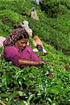 Portrait of an Indian woman plucking (picking) leaves from a tea bush in a tea garden or plantation, on slopes high in the Western Ghats near Munnar, Kerala, India, Asia    Stock Photo - Premium Rights-Managed, Artist: Robert Harding Images, Code: 841-02712206