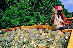Harvested pineapples, Guadeloupe, French Antilles, Caribbean, West Indies    Stock Photo - Premium Rights-Managed, Artist: Robert Harding Images, Code: 841-02713993