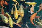 Koi carp fish in pool, Taipei, Taiwan, Asia    Stock Photo - Premium Rights-Managed, Artist: Robert Harding Images, Code: 841-02714078