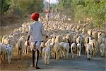 Shepherd and flock of sheep, Rajasthan, India    Stock Photo - Premium Rights-Managed, Artist: Robert Harding Images, Code: 841-02714199