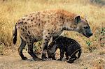 Spotted hyena, Crocuta crocuta, cub greeting adult, Kruger National Park, South Africa, Africa    Stock Photo - Premium Rights-Managed, Artist: Robert Harding Images, Code: 841-02717583