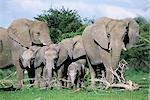 African elephants, Loxodonta africana, maternal group with baby, Etosha National Park, Namibia, Africa    Stock Photo - Premium Rights-Managed, Artist: Robert Harding Images, Code: 841-02717618