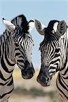 Two Burchell's zebra, Equus burchelli, Etosha National Park, Namibia, Africa    Stock Photo - Premium Rights-Managed, Artist: Robert Harding Images, Code: 841-02717657