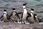 Jackass Pinguin, (Spheniscus demersus), Boulder's Beach, Capetown, South Africa