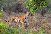 Bengal tiger, (Panthera tigris), Bandhavgarh, Madhya Pradesh, India    Stock Photo - Premium Rights-Managednull, Code: 841-02718147