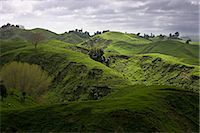 Sheep pasture in rural Manawatu, North Island, New Zealand, Pacific    Stock Photo - Premium Rights-Managednull, Code: 841-02718704