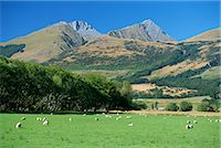 Sheep grazing in the Rees River valley near Glenorchy at northern tip of Lake Wakatipu in scenic area of west Otago, South Island, New Zealand, Pacific    Stock Photo - Premium Rights-Managednull, Code: 841-02723016