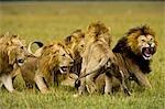 Lions, Masai Mara, Kenya