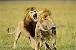 Lions Fighting, Masai Mara, Kenya