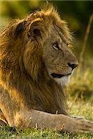 Lion, Masai Mara, Kenya    Stock Photo - Premium Rights-Managednull, Code: 700-02723209