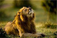 Lion, Masai Mara, Kenya    Stock Photo - Premium Rights-Managednull, Code: 700-02723210