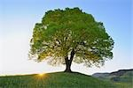 Single Lime Tree at Sunrise, Switzerland    Stock Photo - Premium Royalty-Free, Artist: Raimund Linke, Code: 600-02724701