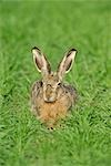 Brown Hare in Grass    Stock Photo - Premium Rights-Managed, Artist: Raimund Linke, Code: 700-02738271