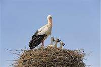 White Stork and Chicks in Nest    Stock Photo - Premium Rights-Managednull, Code: 700-02738279