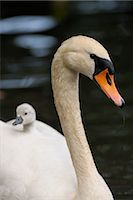 Cygnet on Mute Swan's Back    Stock Photo - Premium Rights-Managednull, Code: 700-02738287