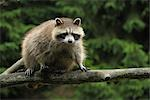 Raccoon on Branch    Stock Photo - Premium Rights-Managed, Artist: Raimund Linke, Code: 700-02738295