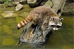 Raccoon on Log    Stock Photo - Premium Rights-Managed, Artist: Raimund Linke, Code: 700-02738296