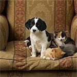 Puppy and Kittens Sitting on a Chair    Stock Photo - Premium Rights-Managed, Artist: Philip Rostron, Code: 700-02738860