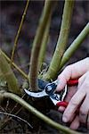 Close up of a man hands pruning a willow twig    Stock Photo - Premium Rights-Managed, Artist: ableimages, Code: 822-02739163