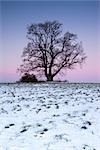 Oak Tree at Dawn, North Rhine-Westphalia, Germany    Stock Photo - Premium Rights-Managed, Artist: F. Lukasseck, Code: 700-02756666