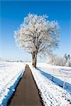Lime Trees Covered in Hoar Frost Lining Paved Walkway in Winter, Bavaria, Germany    Stock Photo - Premium Rights-Managed, Artist: F. Lukasseck, Code: 700-02756692