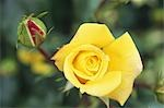 Yellow Rose with Rose Bud Stock Photo - Premium Royalty-Free, Artist: Cusp and Flirt, Code: 622-02757625