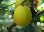 Lemon Growing on Tree Stock Photo - Premium Royalty-Free, Artist: Flowerphotos, Code: 622-02757913