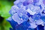 Water Droplets on Hydrangea Flowers Stock Photo - Premium Royalty-Free, Artist: Ron Fehling, Code: 622-02758287