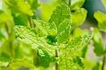 Herbal Plant of Apple Mint Stock Photo - Premium Royalty-Free, Artist: Aflo Relax, Code: 622-02758686