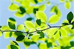 Leaves on Tree in Spring Stock Photo - Premium Royalty-Free, Artist: Aflo Relax, Code: 622-02758699