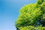 Tree against Blue Sky Stock Photo - Premium Royalty-Free, Artist: Aflo Relax, Code: 622-02758733