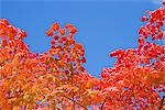Red Autumnal Leaves against Blue Sky Stock Photo - Premium Royalty-Free, Artist: JTB Photo, Code: 622-02759241