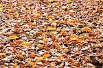 Fallen Leaves Scattering on Ground Stock Photo - Premium Royalty-Free, Artist: Science Faction, Code: 622-02759309